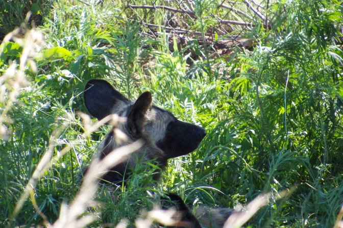 Wild dog - if I don't look at you maybe you're no there!