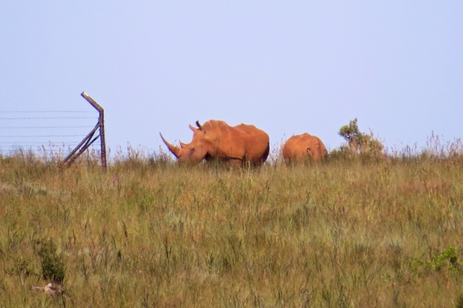 White rhino - Mother and calf