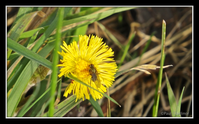 Coltsfoot flower. A delicate yellow daisy like flower. I don't know what the fly is yet. But we'll call him Fred for now.