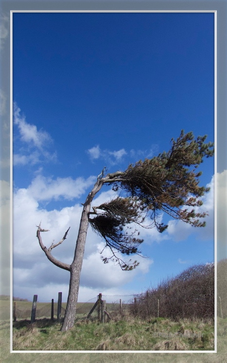 The blasted pine