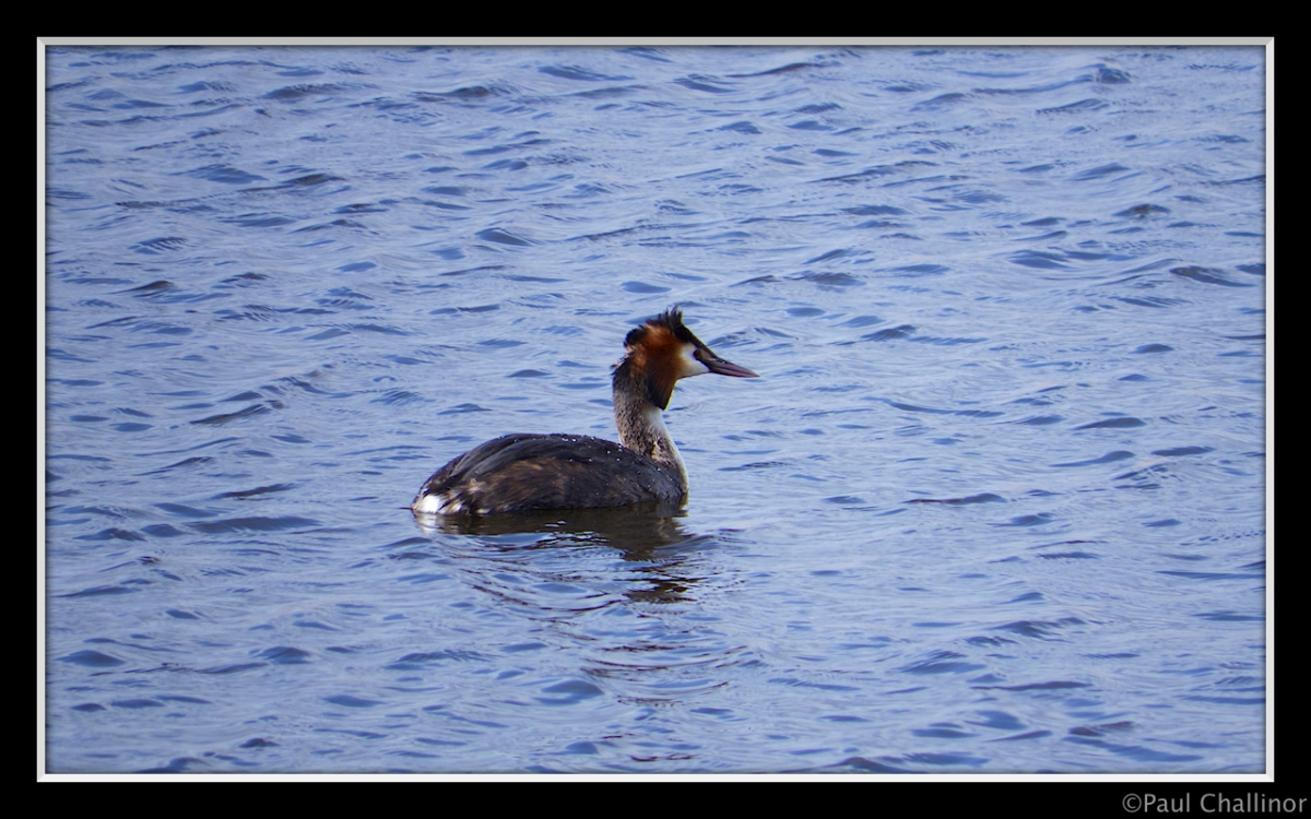Newport Wetlands, Great crested grebe