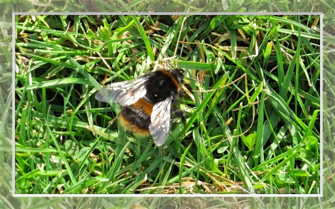 Bombus pratorium - Early bumblebee