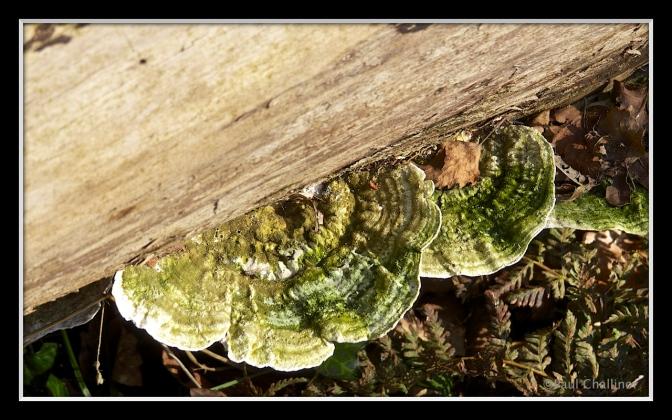 Polyvonal bracket fungus.