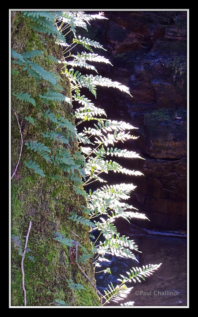 The shadowy valley is so damp that ferns are able to grow on the trunks of the oak trees.