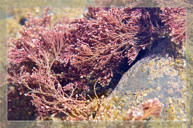 Coral wee - Corallina officinalis