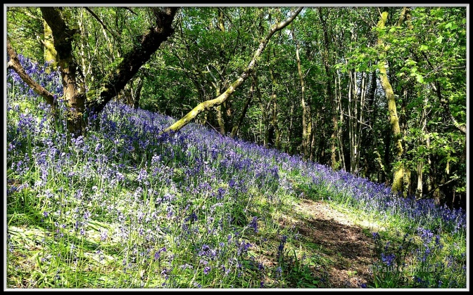 Bluebell Bank