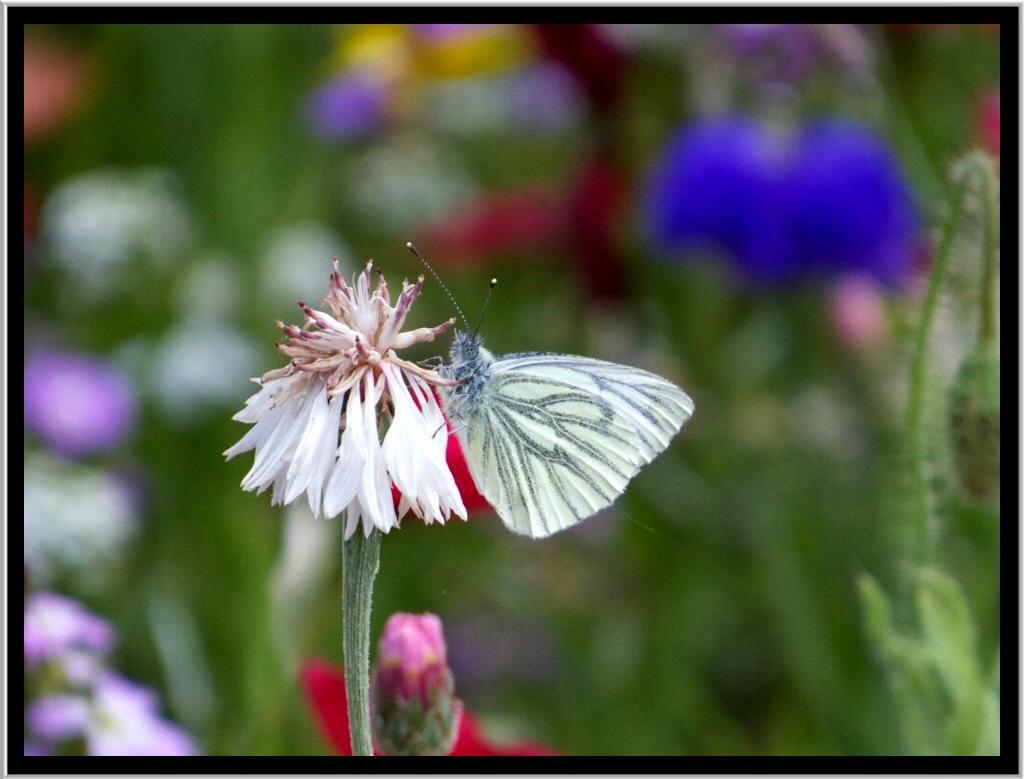A Greenveined White butterfly feeding.