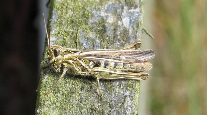 Field Grasshopper - Chorthippus brunneus.