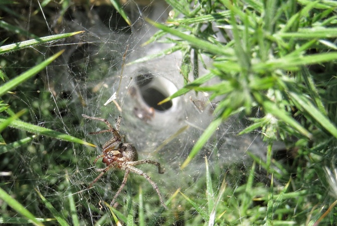 Funnel Web spider clearly  showing the funnel. Not sure what species it is.