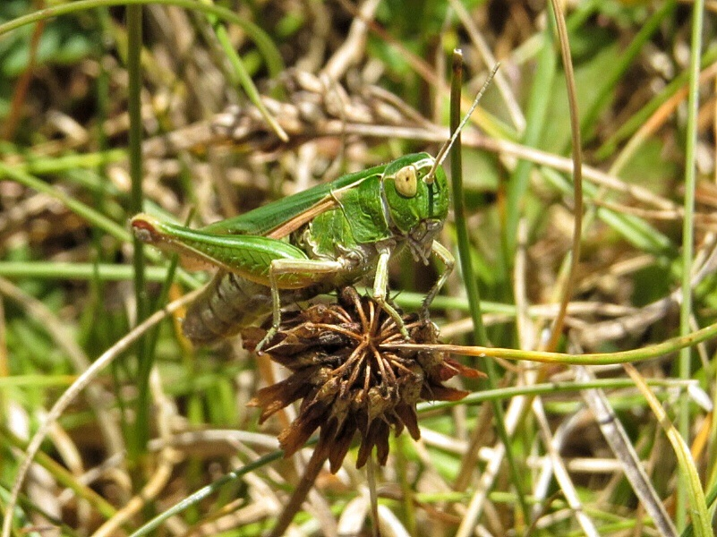 Common Green Grasshopper - Omocestus rufipes.