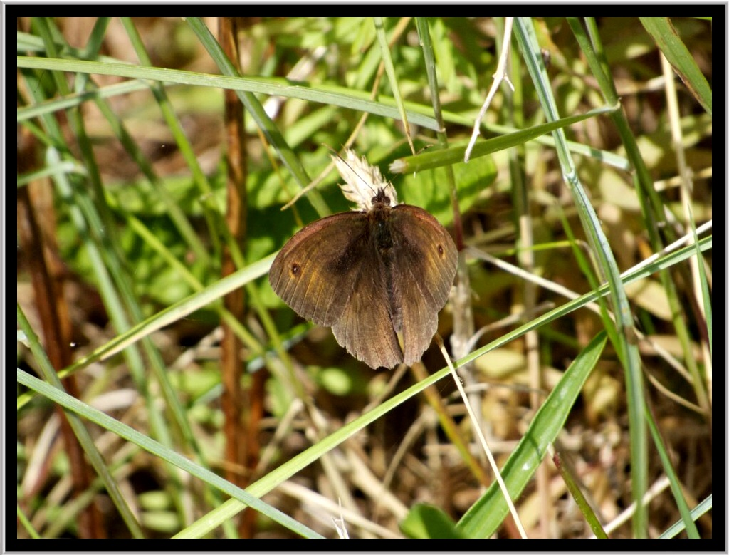 Meadow Brown resting and waiting for his next chance.