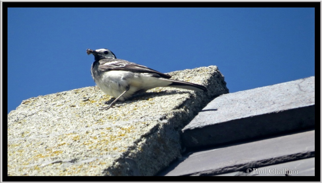 A scruffy looking pied wagtail.