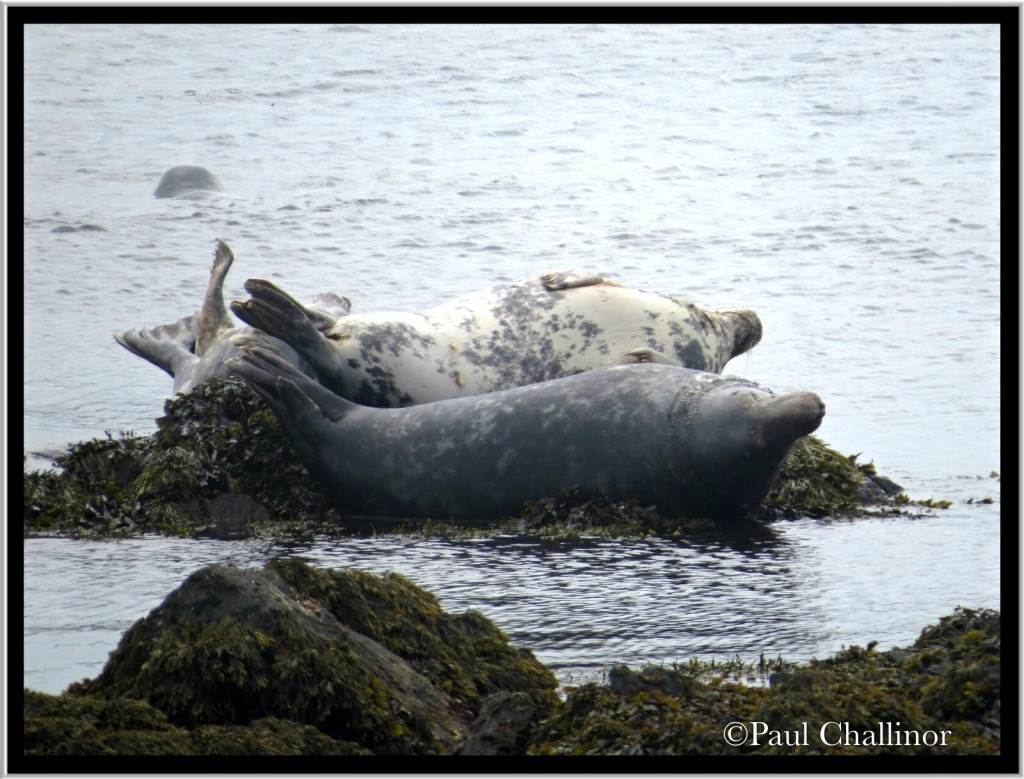 How many seals can you fit on a small rock?