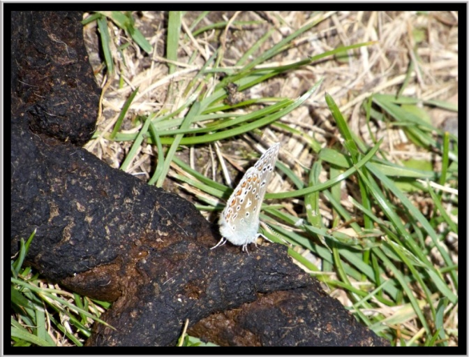 Although not the most glamorous of places to pose for a photograph this common blue was obviously finding something interesting on this dog poo. However, an aside to this is my frustration of dog owners who seem to be happy to leave evidence of their passing along footpaths.