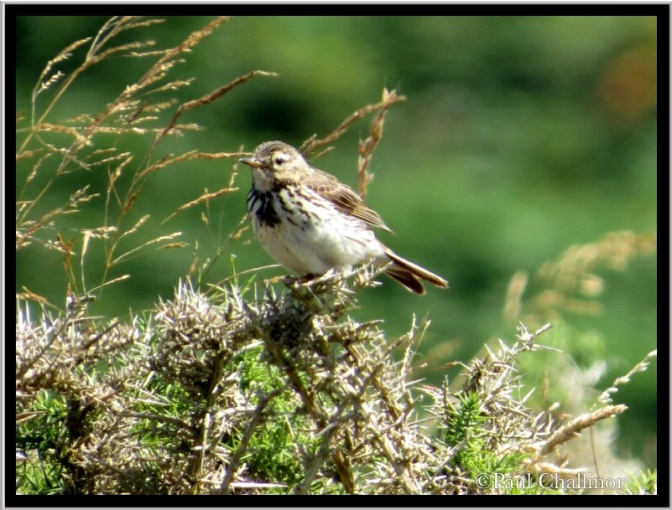 I think this is a meadow pipit, but during moult it's difficult to be certain.