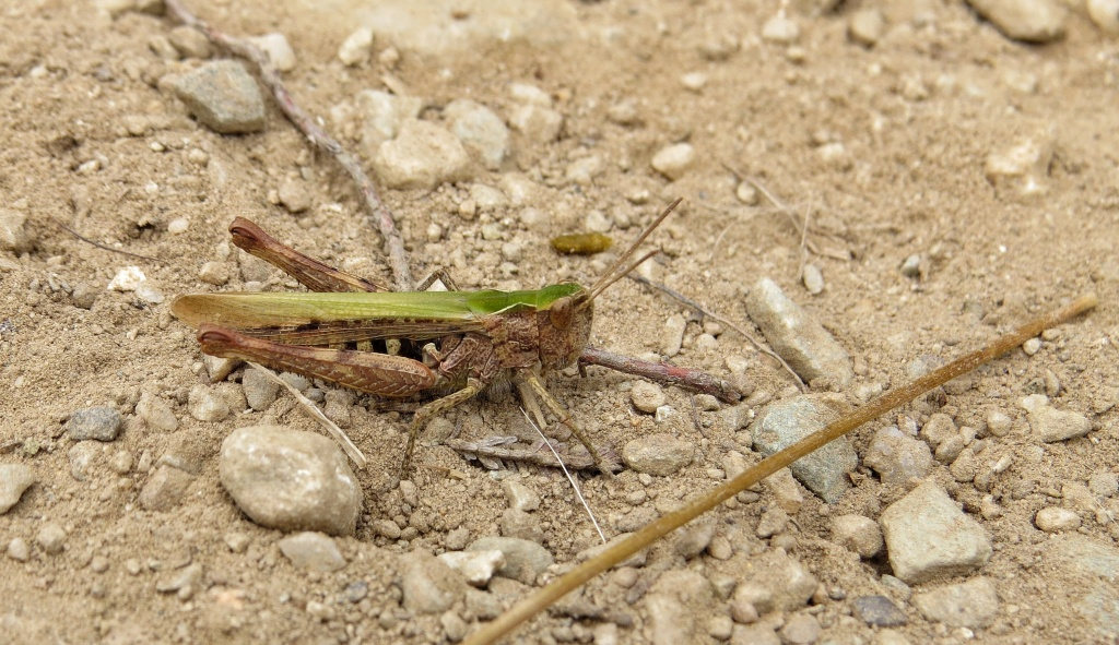 A Meadow Grasshopper - Chorthippus parallelus.oK it may not be a bird, but I still get excited.