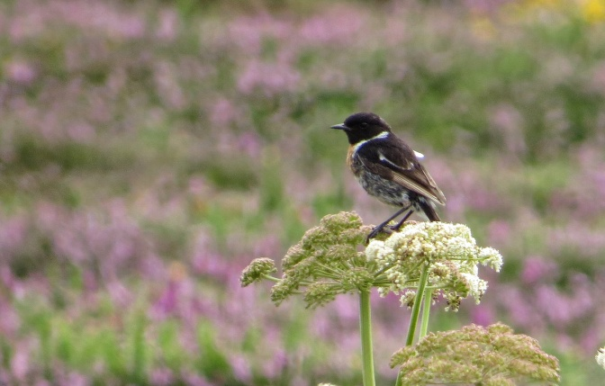 A rather scruffy Stonechat not yet in full winter plumage.