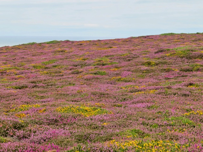 The Heather was looking great along the slopes.