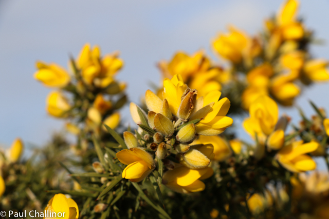 """Gorse flowers almost all year round. """"When gorse is out of bloom, kissing is out of season"""". When the sun shines bright, the flowers smell of a heady aroma of coconut and vanilla. Apparently gorse flowers make a wonderful flavouring for wine, although picking the flowers amongst the minefield of thorns on the bushes is difficult."""