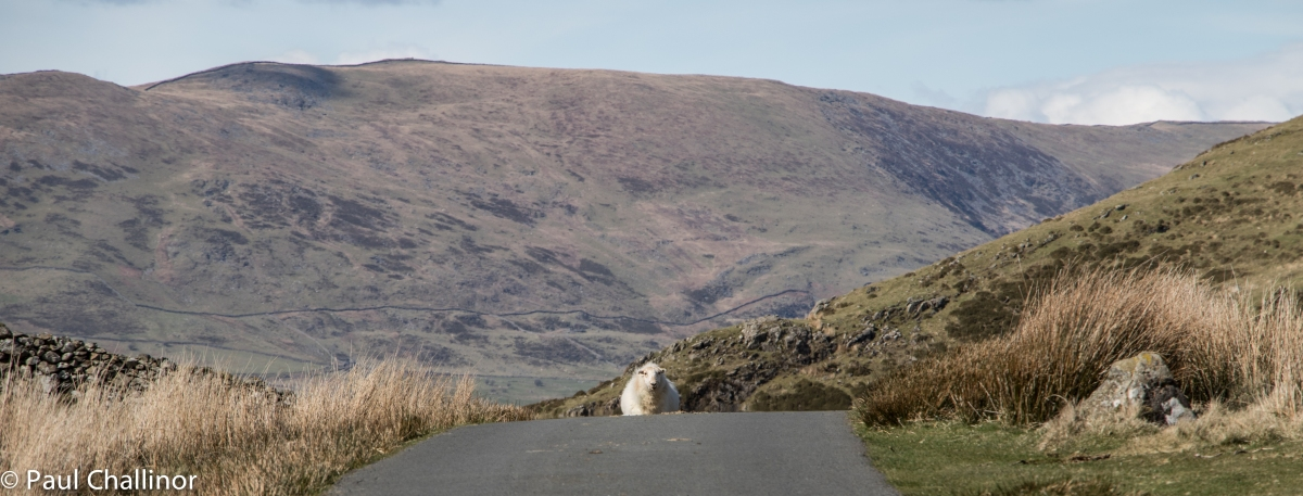 We don't have trolls of billy goats guarding the passes here in Wales, but we do have sheep