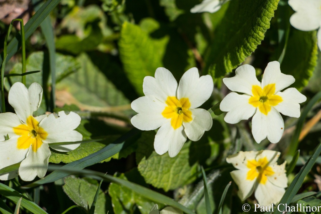 The wild flowers were not to be outdone. The Primroses shone whenever the sun came out.