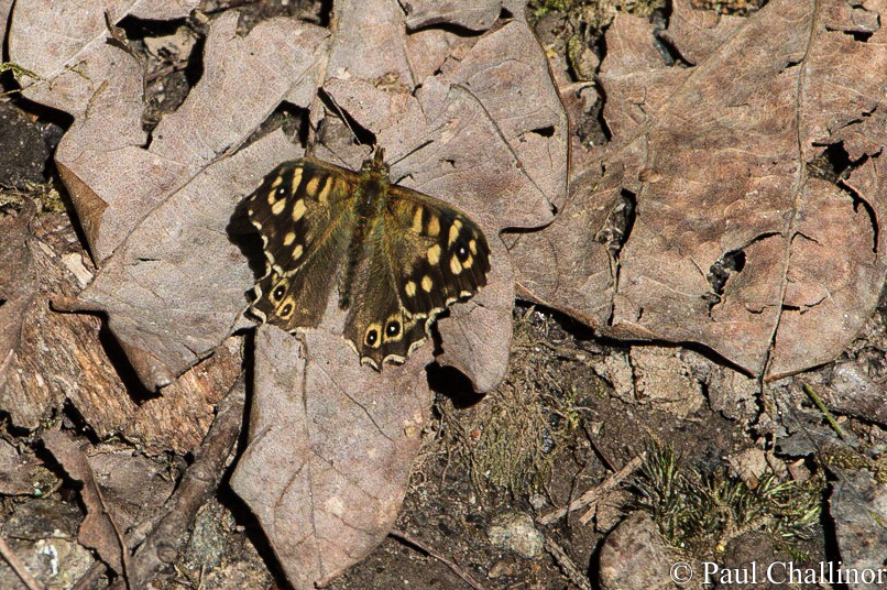 I even managed to track down this Speckled Wood butterfly, though Aunty was beginning to sigh and tut as I chased him to get the photo.