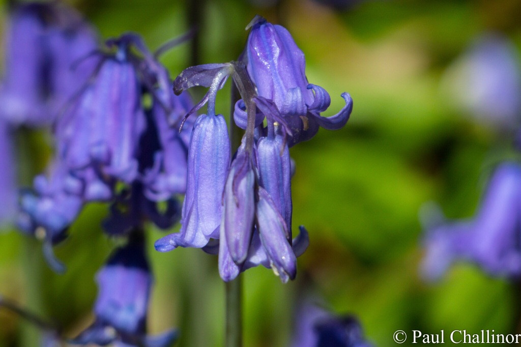 Close up of a Blue Bell flower head.