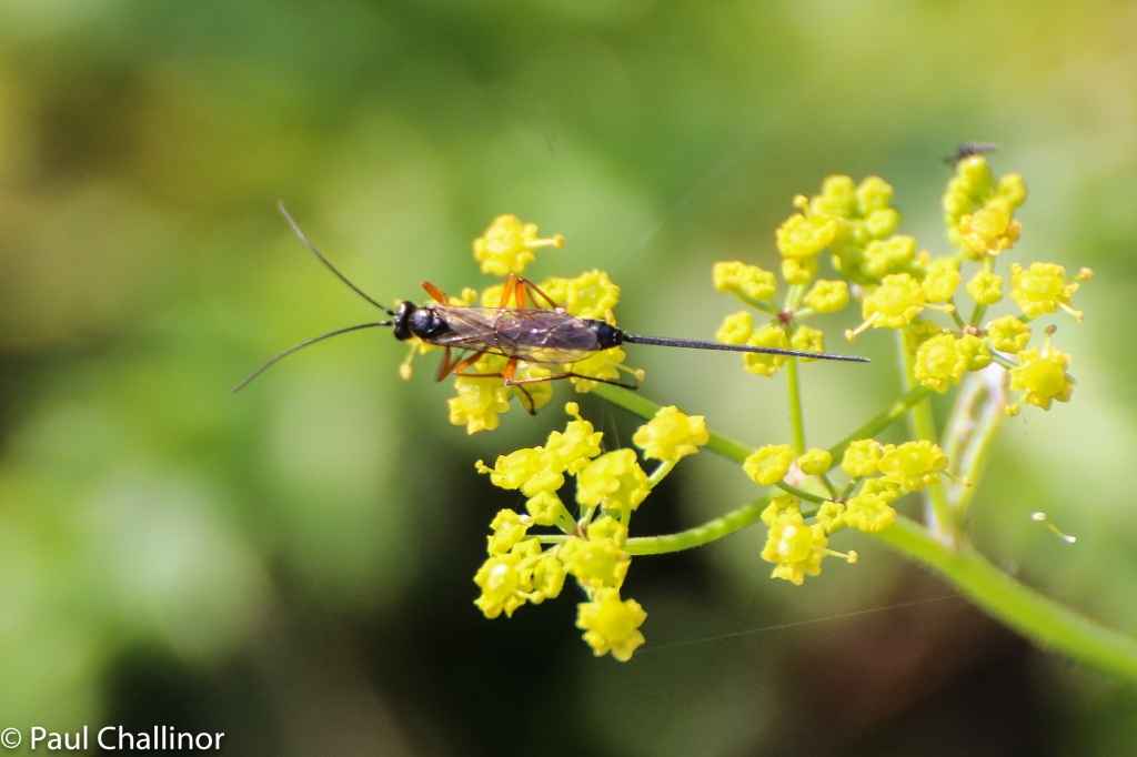 Ichneumon wasp. Unfortunately no idea which species.