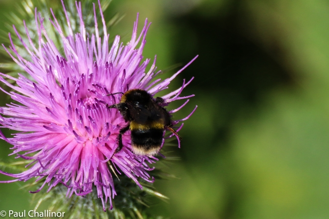 Either Bombus terrestrial, Buff Tailed Bumble Bee or Bombus Leucorum, White Tailed Bumble Bee. I can never tell them apart.