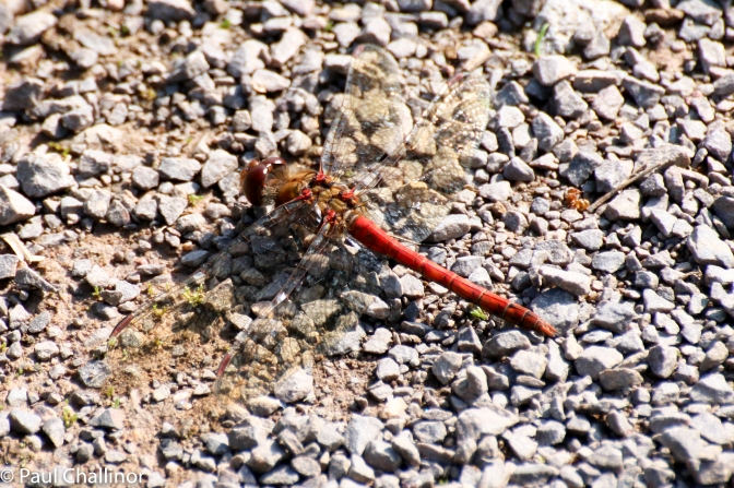 Common Darter. There were plenty of these sunning themselves along the paths.