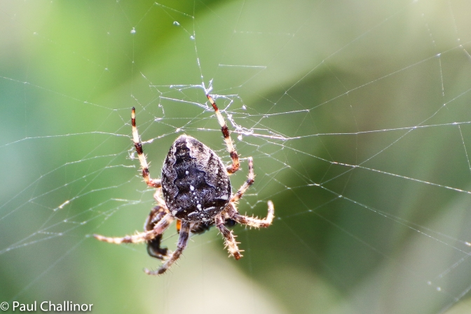 Araneus diadematus - a common orb web spider that I think almost everyone is familiar with at this time of year.