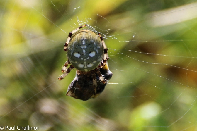 Another new one - Araneus quadrates. This is quite a big girl and I estimate she was about 10mm across.