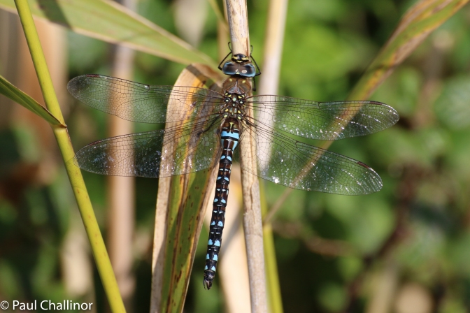 A new one for me - Migrant Hawker. Beautiful by any name.