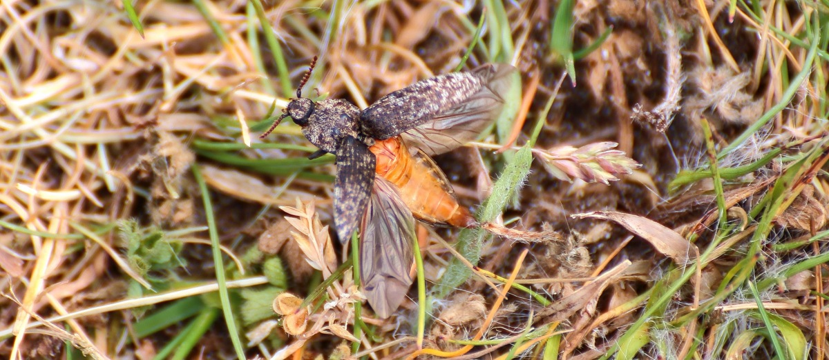 Agrypnus murinus 2016-06-06