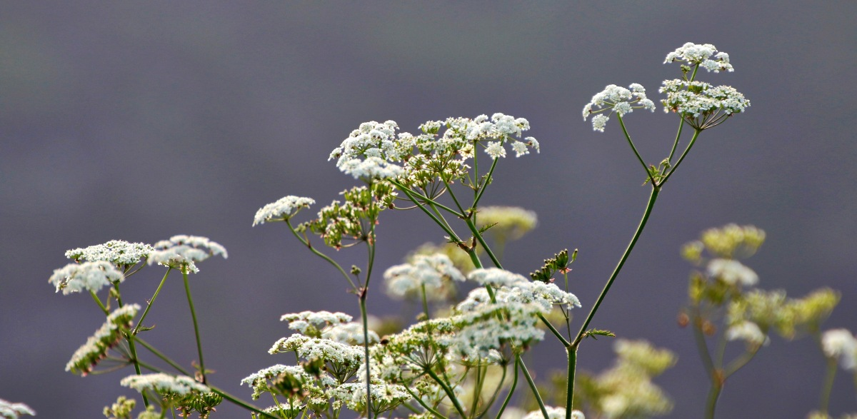Cow Parsley 2016-06-06