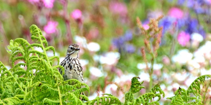 Meadow Pipit 2016-06
