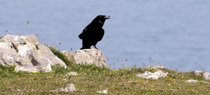 Raven 2016-06-06