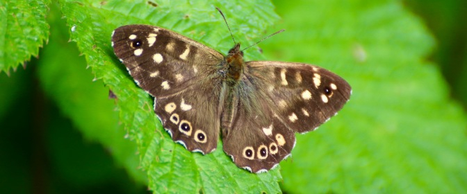 Speckled Wood 2016-06-06