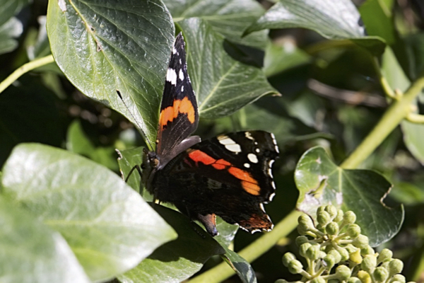 Red Admiral 170917